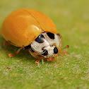 Yellow Ladybug or Ladybird