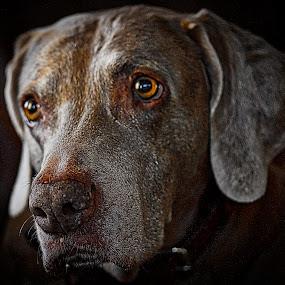 Hazel Eyes by Jim Antonicello - Animals - Dogs Portraits ( hazel, dog, friend, eyes )