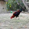 Domestic Chicken (male)