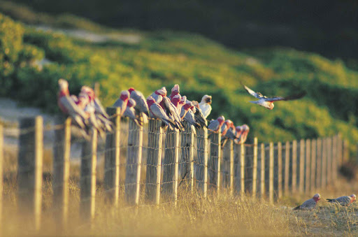 Galahs_Tomaree_National_Park - Galahs on the beach, Tomaree National Park, North Coast NSW, Australia.
