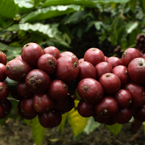 coffee seeds by Santosh Vanahalli - Nature Up Close Trees & Bushes ( coffee seeds )