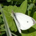 Small White (male)