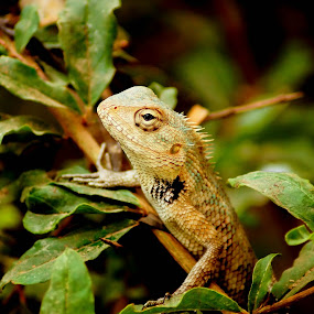 oriental garden lizard by Faizan Hussain - Animals Reptiles ( wild, reptiles, lizard, nature )