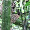Ojo de Buho - Butterfly