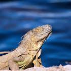 Green iguana (adults)