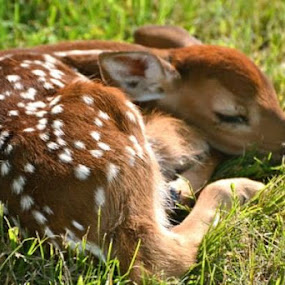 Fawn laying in the grass in my neighbors lawn. She stayed there all day until her mom came and took her away later in the evening. by Priscilla Capelle-Haehn - Animals Other Mammals