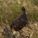 Swainsons spurfowl