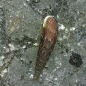 Two lipped door snail, Grote regenslak (dutch)
