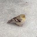 American Goldfinch (non breeding female)