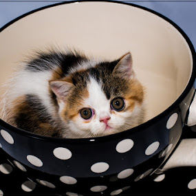 Cat in a cup by Richard Ryan - Animals - Cats Portraits ( cup, kitten, cat, persian, cute,  )