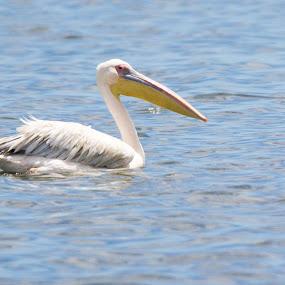 Look at my beak by Ailsa Burns - Animals Birds ( bird, beak, pelicans, swimming, photography )
