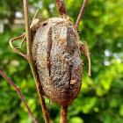 Emperor gum moth pupa