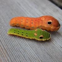 Spicebush Swallowtail larvae