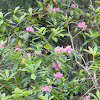 Pacific Coast Rhododendron
