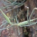 Desert milkweed seedpods