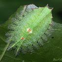 Crowned Slug Moth Caterpillar