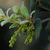 Holm oak, Encina