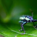 Lesser Clover Leaf Weevil