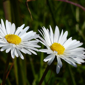 by Francesco Altamura - Flowers Flowers in the Wild ( white flower, park, green, daisies, nature close up, yellow, flowers, garden )