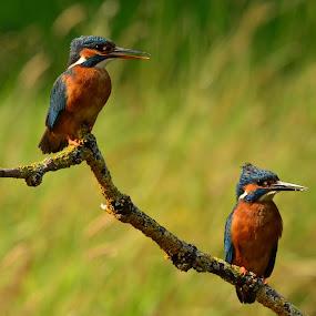 Mr & Mrs by David Cozens - Animals Birds ( female, male, kingfisher, perch )