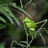 Bush-crickets