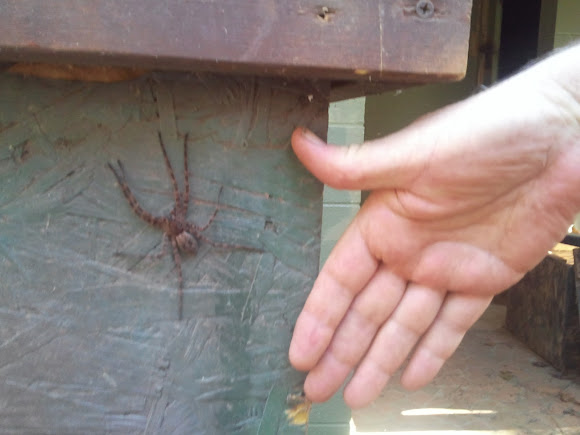 Dark Fishing Spider (male) | Project Noah
