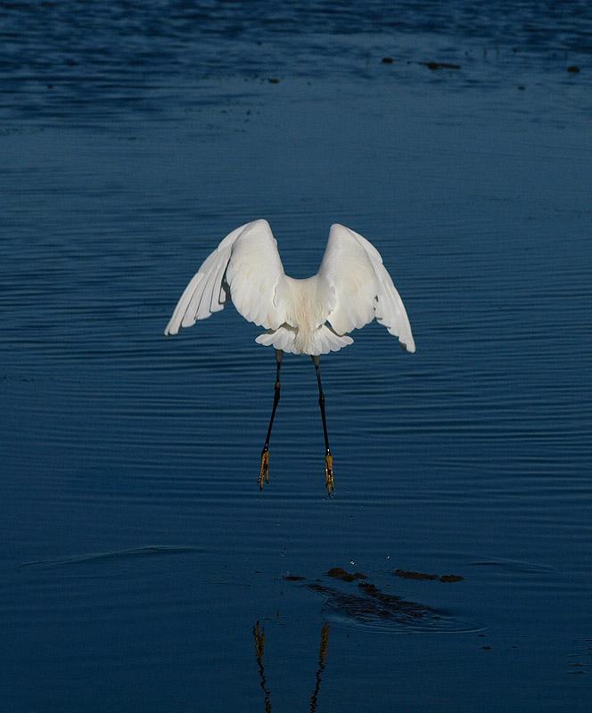 Garceta común (Litle Egret)