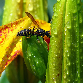 Day Lily by Patti Hobbs - Flowers Flower Buds ( flowers buds day lily wasp )