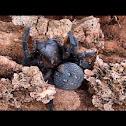 Black Velvet spider