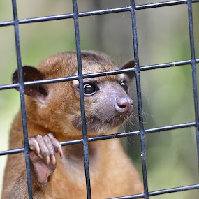 If I Ever Get Out of Here by Bo Chambers - Animals Other Mammals ( imprisoned, kinkajou, caged, restricted, captive, contained, mammal,  )