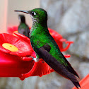 Green-crowned Brilliant Female