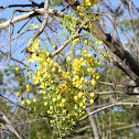 Canafistula (Golden Shower Tree)