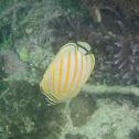 Ornate Butterflyfish