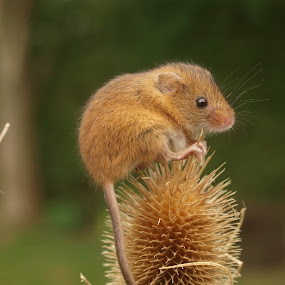 Thistle Harvest Mouse by Garry Chisholm - Animals Other Mammals ( garry chisholm, mouse, nature, wildlife, harvest, rodent,  )