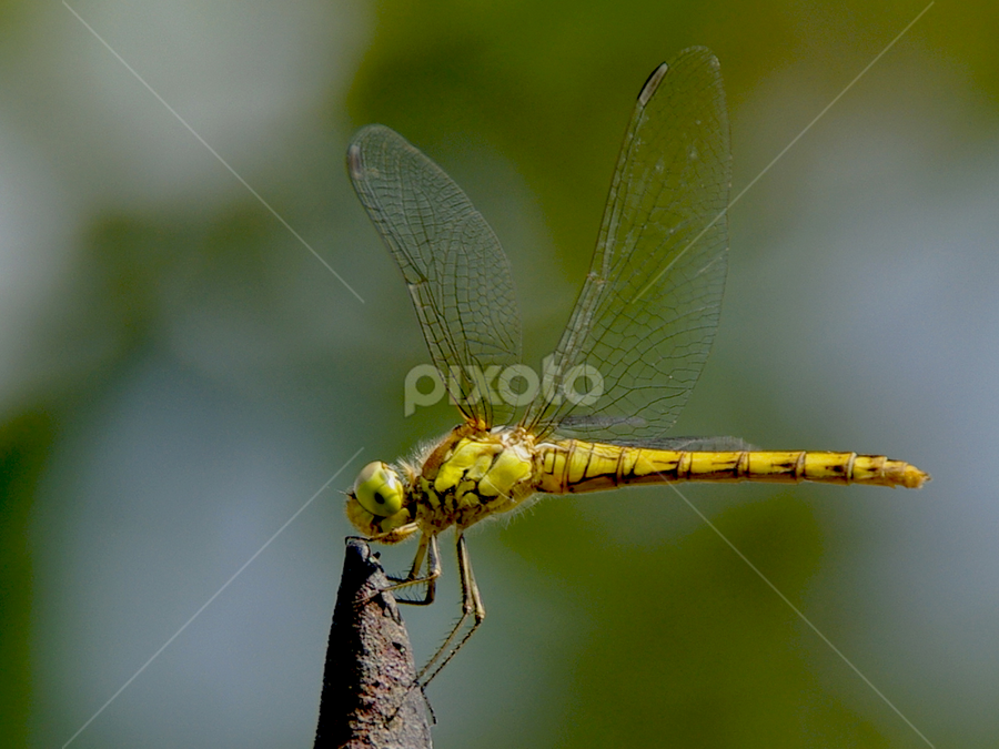 dragonfly by Hale Yeşiloğlu - Animals Insects & Spiders ( dragonfly,  )