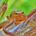 Braune krabbenspinne