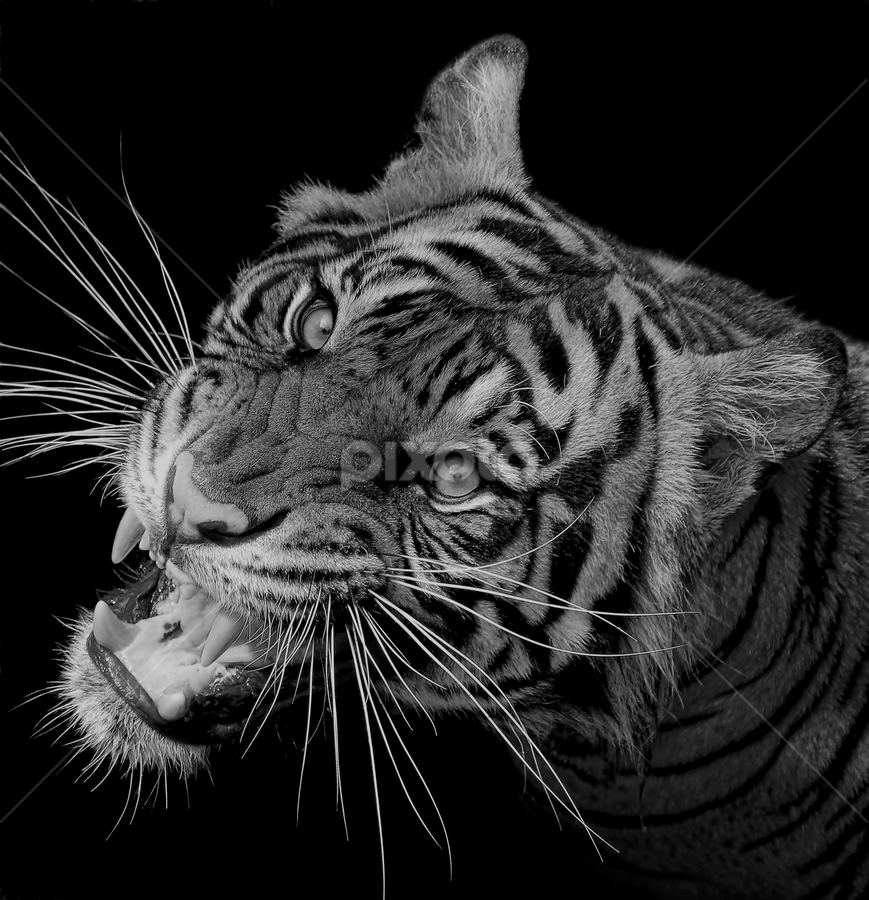 The Predator... by Ubayoedin As Syam - Black & White Animals