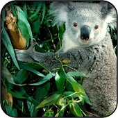 Koala Bear Wallpapers