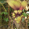 Bat's Lily