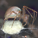 Green Lynx Spider Spinning an Egg Sac
