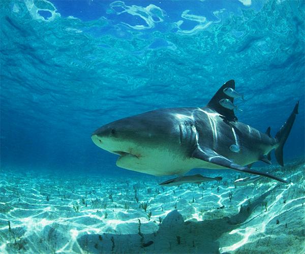 Shark Live Wallpaper Android App Screenshot