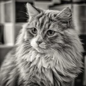 Tiger by Dan Horton-Szar ARPS - Black & White Animals ( cat, long-haired, fluffy, pet, fur,  )