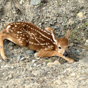 Whitetail Fawn  by Denise Johnson - Animals Other ( animals, whitetail deer, wildlife, baby, fawn, deer, animal,  )