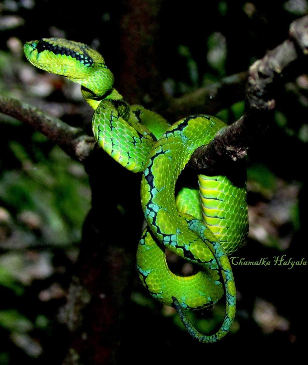Sri Lankan green pit viper