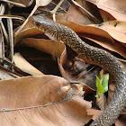 Darash Snake (দাঁড়াশ সাপ)