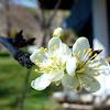 ciruelo (flor)