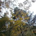 Mountain ash (aka Rowan)