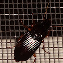 Pennsylvania Dingy Ground Beetle