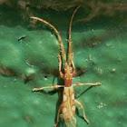 Silvanid beetle