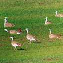 Avutarda or bustard